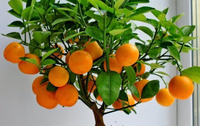 apelsinove_derevo.jpg (.18 Kb)