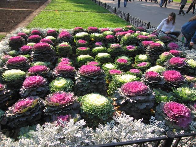 Клумби з декоративної капусти