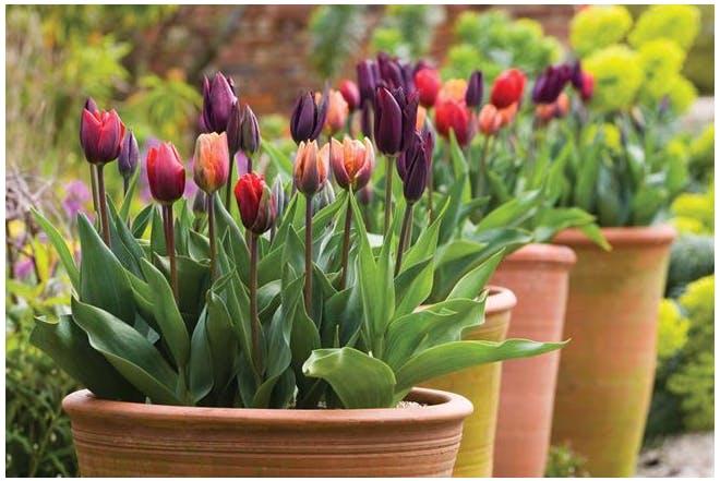 Весняні композиції з тюльпанами
