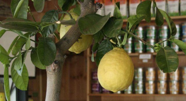 Вирощуємо лимонне дерево