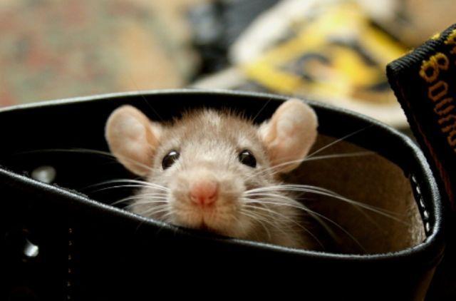 Як позбутися від мишей в будинку